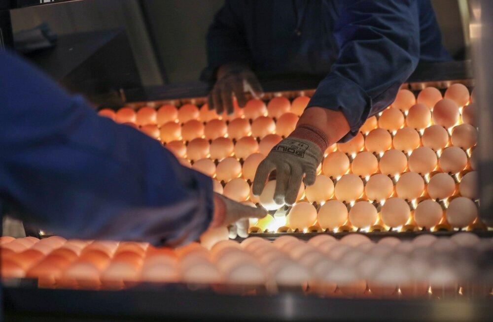 Mürgise fiproniiliga saastunud kanamune on leitud 15 EL riigis ja Hong Kongis