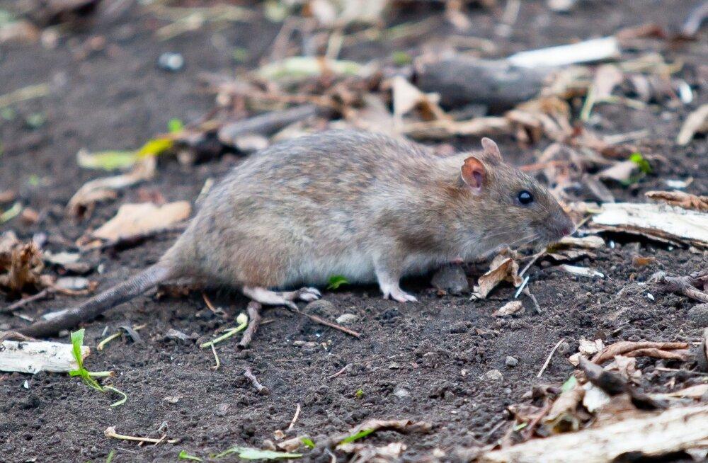 Tegus rott Musumäel