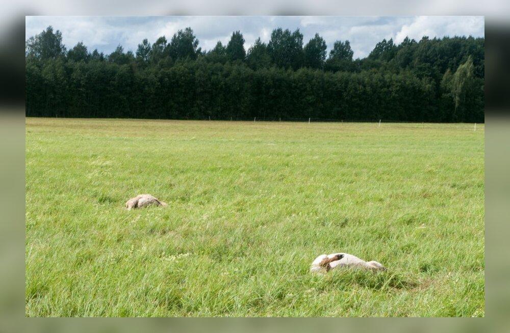 Vaatamata elektrikarjusele jäi Saaremaa Ökoküla ilma paarikümnest lambast