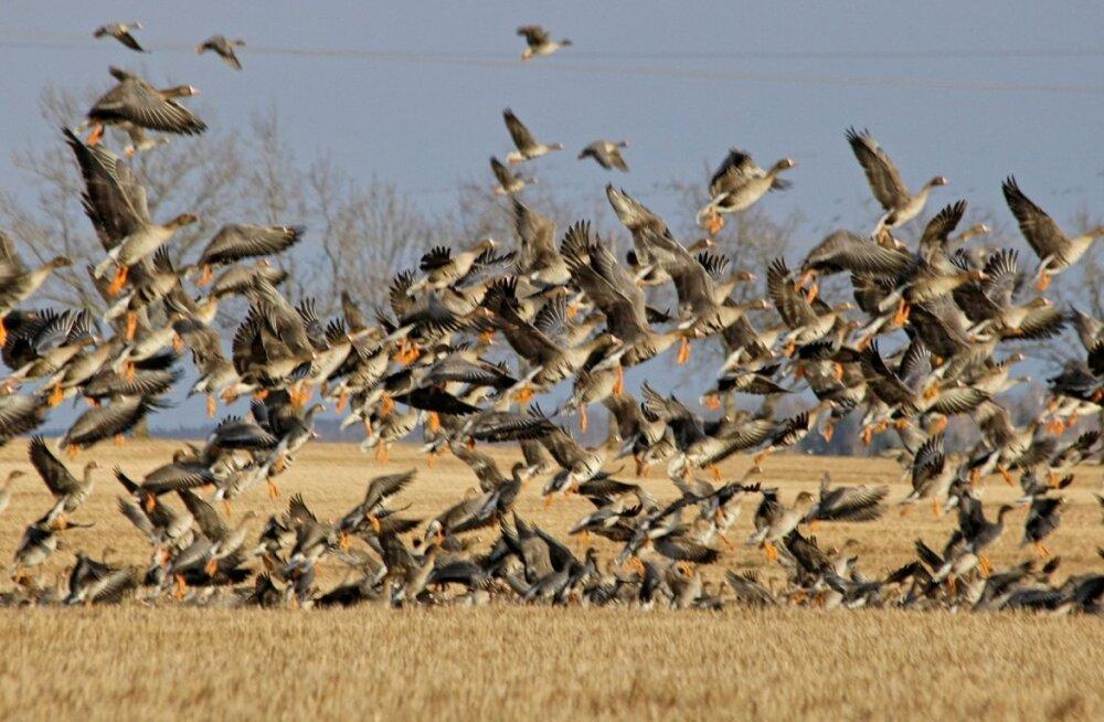 Miks linnud ikkagi rändavad?