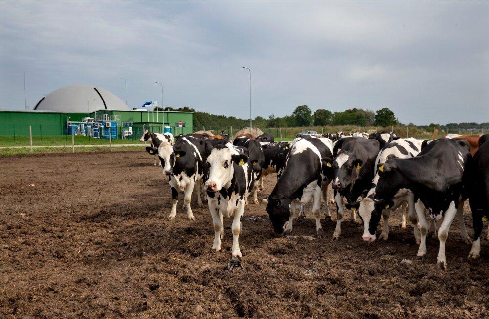 Viljandi maakonnas Koksvere külas avati biometaanijaam, mille peamised toorainega varustajad on lehmad.