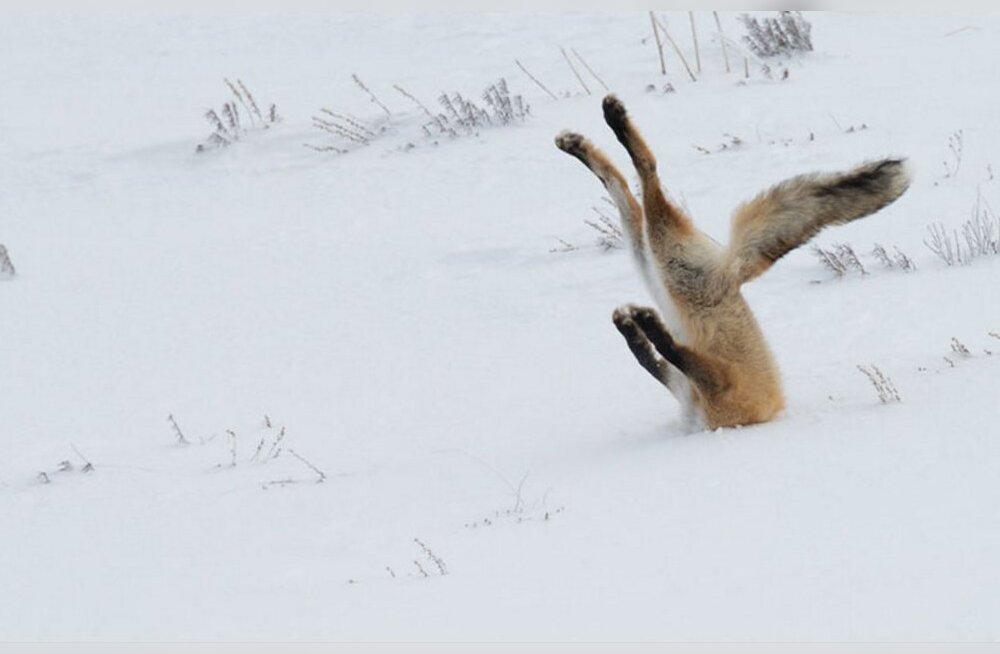 Fantastilised FOTOD: Vaata, millised naljakad hetked on loodusfotograafidel pildile õnnestunud jäädvustada