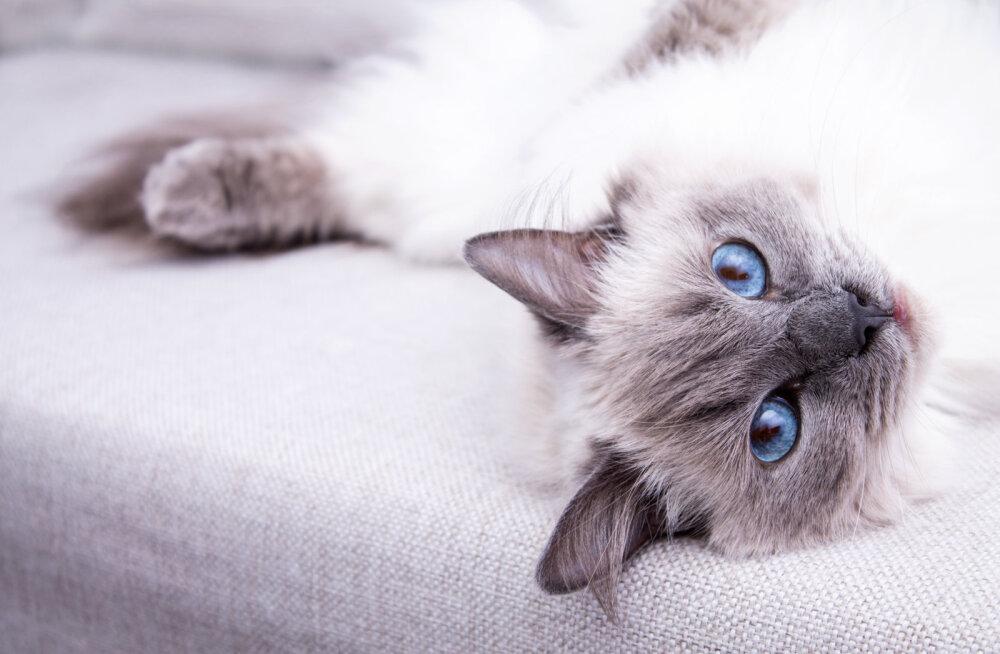 12 asja, mida kass teeb, kui ta sind tõeliselt armastab