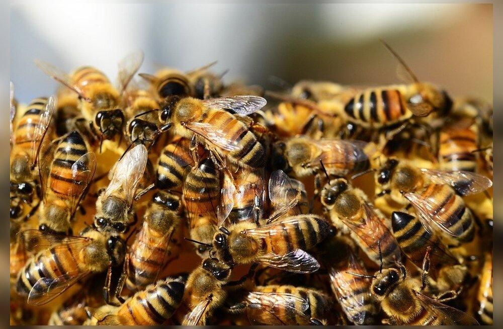 Uuring: Kas mesilased on väljasuremisohus?
