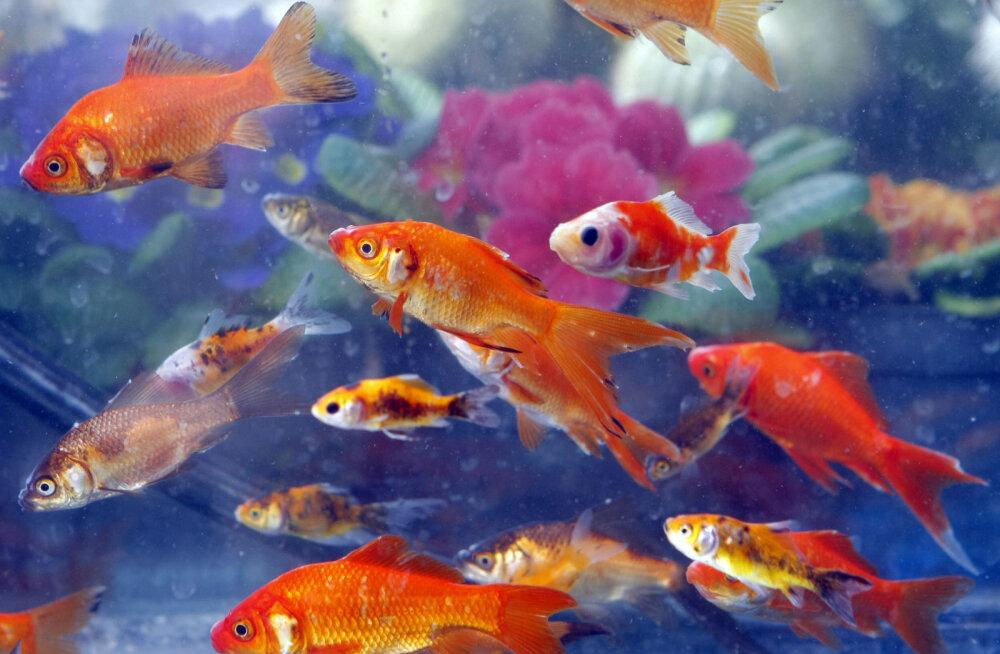 Viinategu vetevallas: miks toodab kuldkalade ja kokrede organism talviti ise alkoholi?