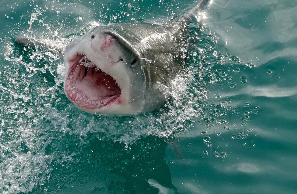 У берегов Майорки впервые с 1970-х заметили большую белую акулу
