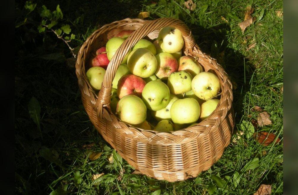 Türi Õunafestivalil saab õunasauna ja õunaussivorsti