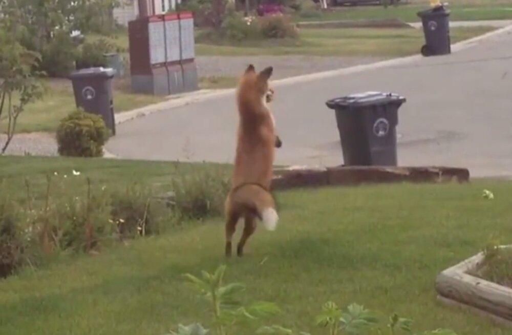 Nalja nabani! Koer ei suuda kuidagi oma pahameelt alla suruda, kui rebane aiast tema mänguasja leiab