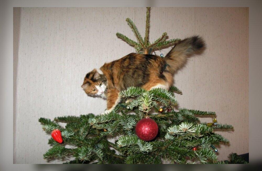 Kass jõulupuul