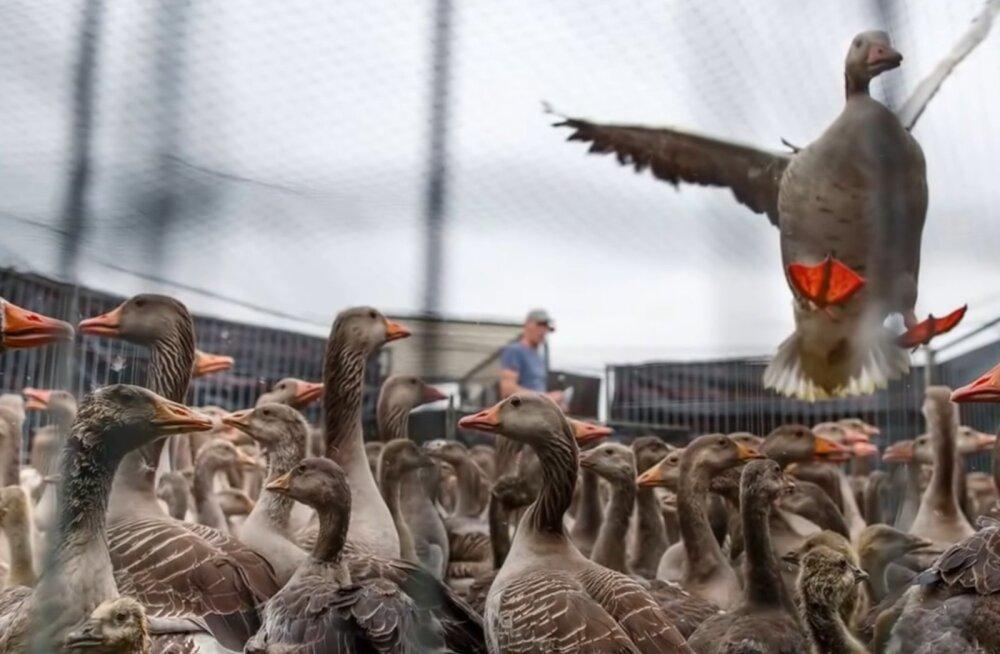 Hollandis on hanejaht keelatud, ent linde gaasitatakse tohutul hulgal
