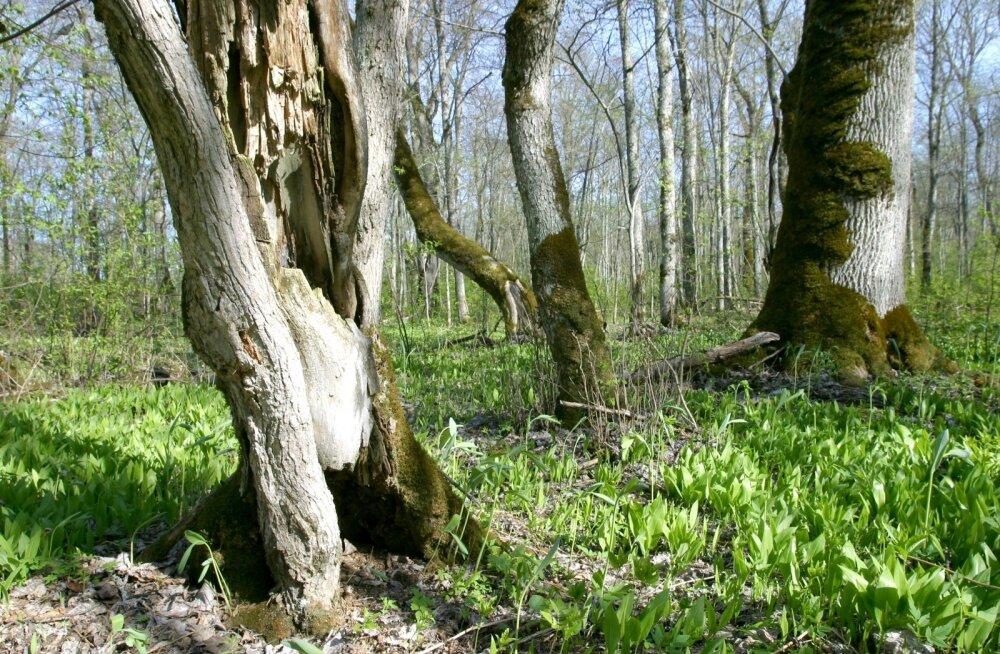 Vääriselupaigaks võib olla ka üksik puu või puude grupp. Igatahes soovib uus metsaseadus vääriselupaiku edaspidi kaitsta sõltumata nende suurusest, vaid lähtudes konkreetse paiga ökoloogilisest kooslusest. Pildil Altnurga saaremets.
