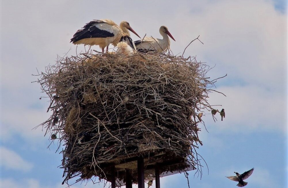 Kolivad naabriks: valge-toonekure pessa mahuvad pesitsema ka väiksemad linnud