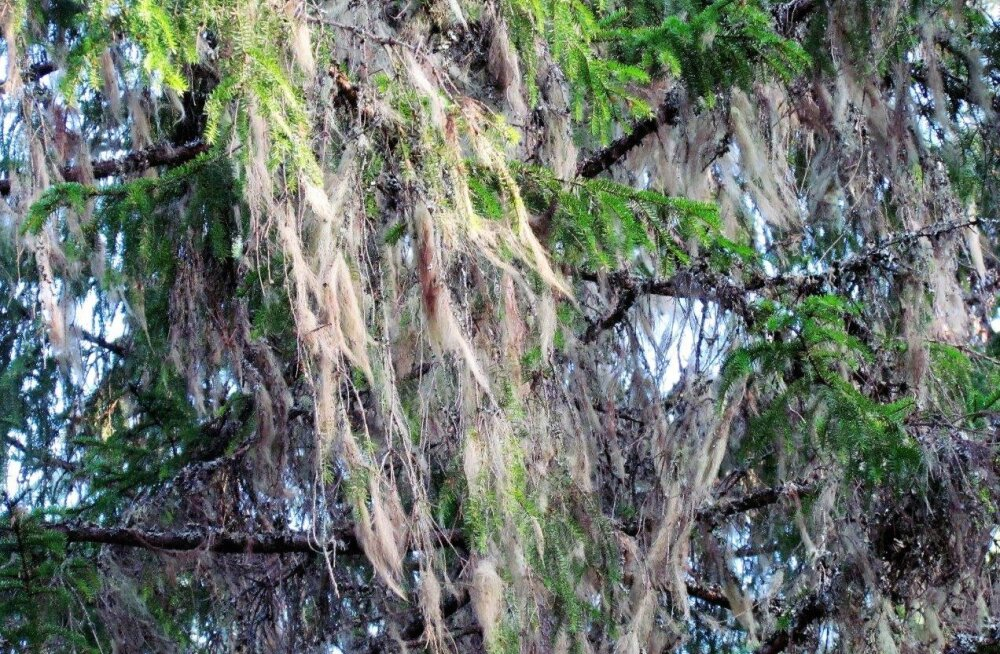 Leili metsalood | Habemesse kasvanud puud