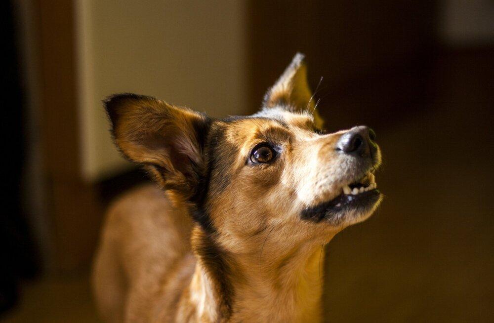 Lõpp halvale käitumisele | Ekspert annab nõu, kuidas koer õpib ja kuidas ebameeldivat käitumismustrit murda