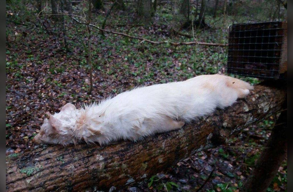 PÄEVAPILT | Jõgevamaal leiti kastlõksust albiinonugis