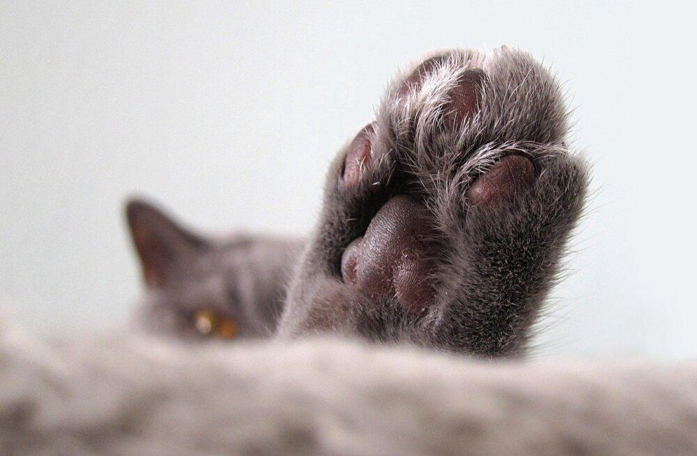 Millest tuleb kassidel komme oma käppadega sõtkuda?