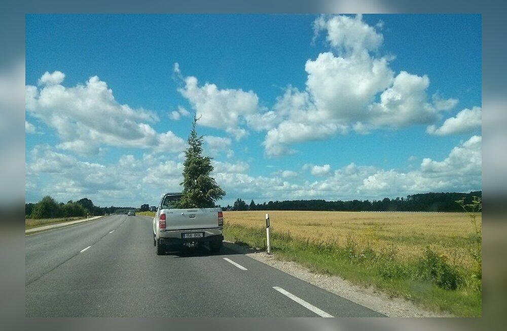ФОТО: Готовь елку летом?