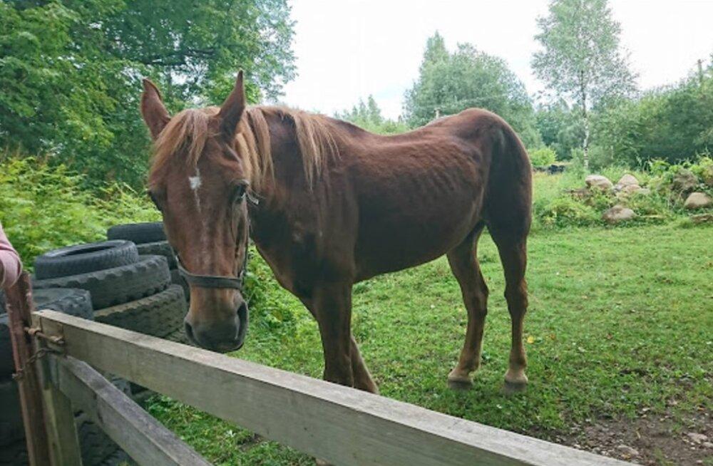 VIDEO   Eestimaa Loomakaitse Liit palub abi: rängalt väärkoheldud hobune Jaana ei võtnud esialgu isegi jalgu alla