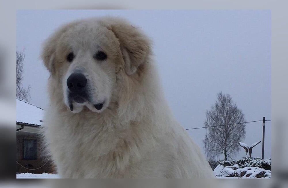 Pärnu kandis otsib omanik kadunud koera, vaevatasuks 500 eurot