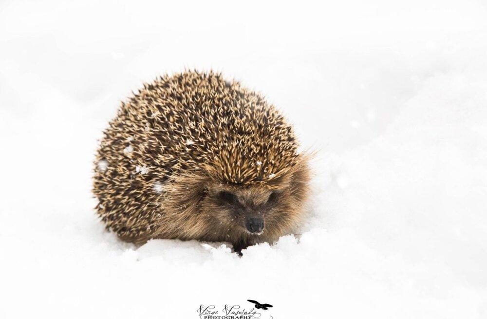 Nägid lumel siili? Haara ta kiirelt kaenlasse!