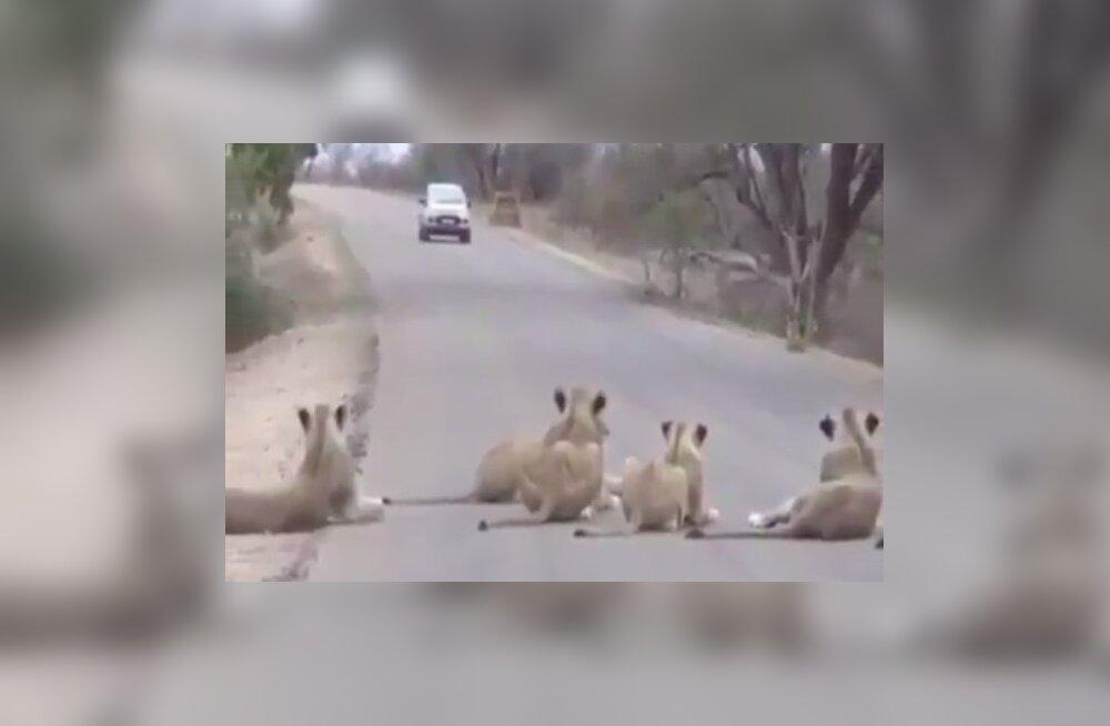 VIDEO | Lõvid blokeerivad Krügeri rahvuspargis tee ega mõtlegi lähenevatest autodest välja teha