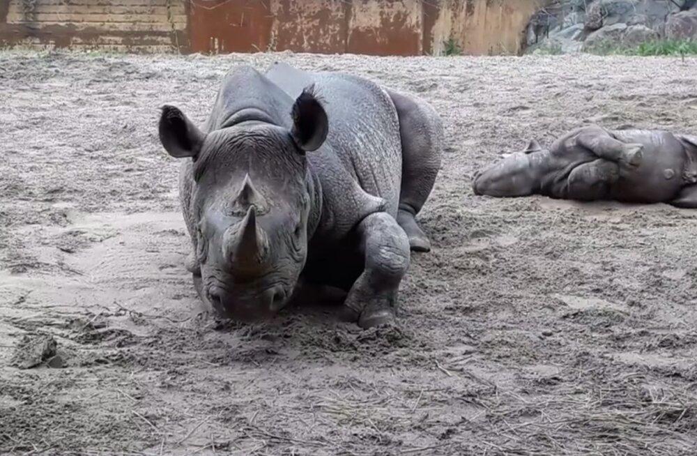 VIDEO   Ninasarvikutel on loomaaias vihmase ilmaga veel lõbusam kui päikselise ilmaga!