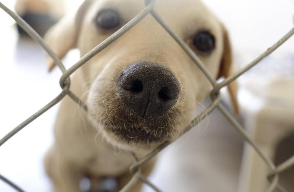 Kas nii võiks olla ka Eestis? Varjupaik lubab peredel koeri pühade ajaks koju võtta