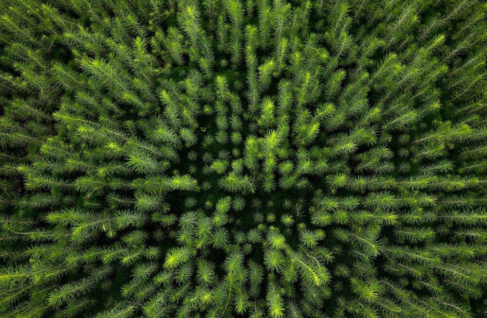 Siin see tulevane metsapõlv sirgub.