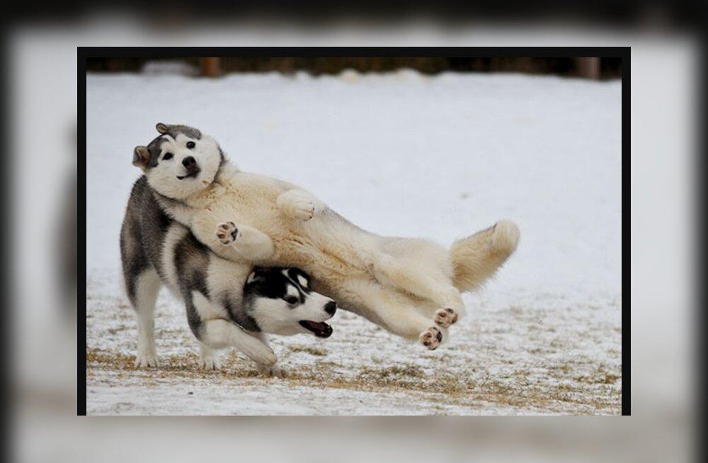 FOTOD: Vaata, kuidas on humoorikate näoilmetega koerad suutnud perfektselt tabatud ajahetkel ära rikkuda ka kõige süütumad fotod