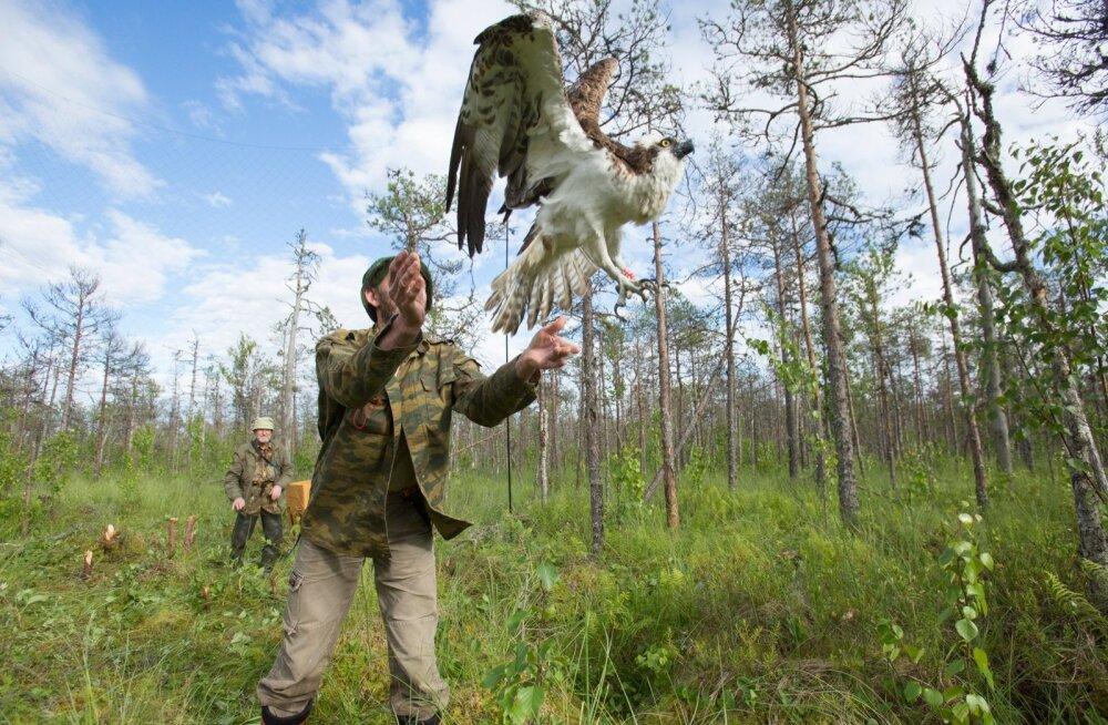 2002. aastal Emajõe-Suursoos sündinud ja Venemaale elama asunud isane kalakotkas Genka, olles jalga saanud punase Vene rõnga, võtab taas tuule tiibadesse.