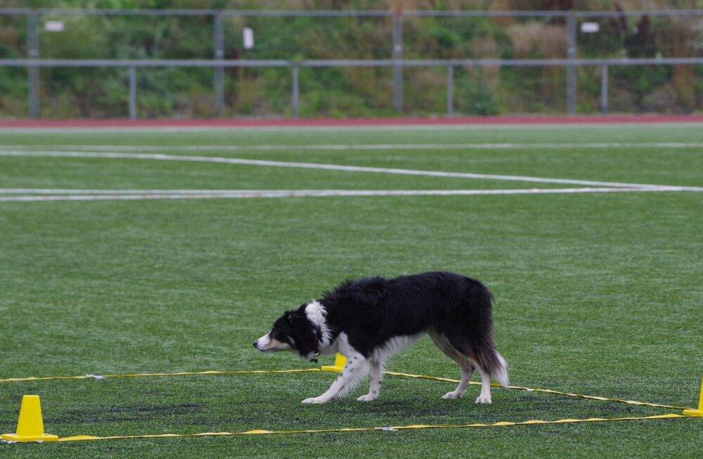 Eesti koerasportlane tõi maailmameistrivõistlustelt koju hõbemedali
