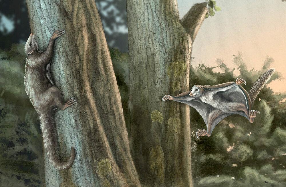 Elu dinosauruste peade kohal: teadlased tuvastasid kaks ürgseimat puult puule liuglevat imetajat