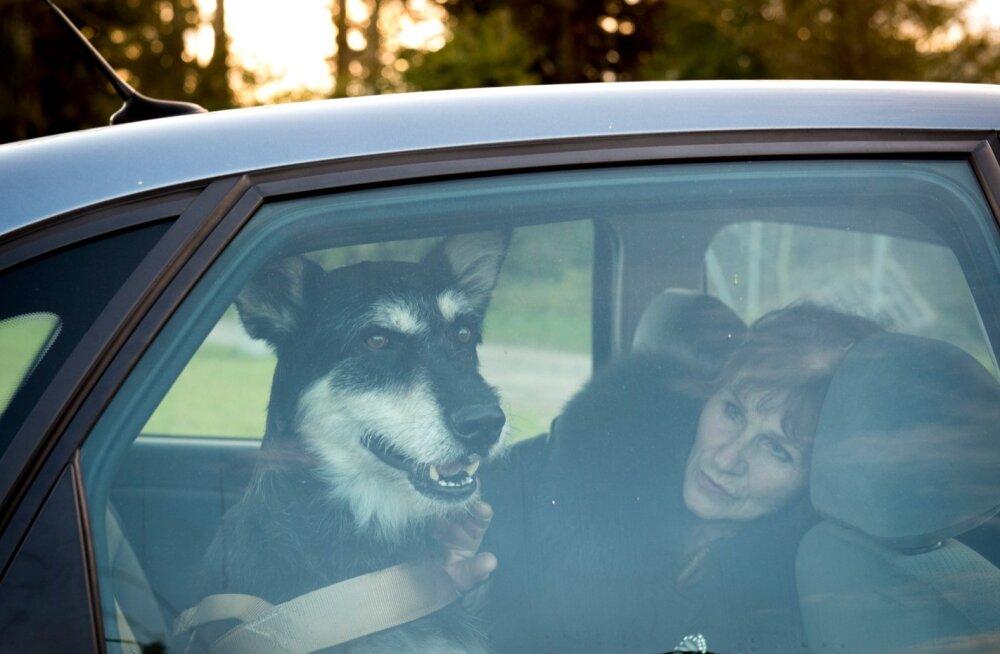 Maximuse viimane pilk läbi autoakna Pärnu kodutute loomade varjupaigale. Hüvastijätt oma päästjatega ja uue elutee algus.
