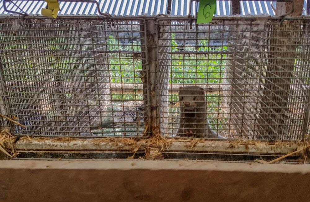 Läti karusloomafarmi töötaja avalikustas õõvastavad kaadrid tingimustest farmis