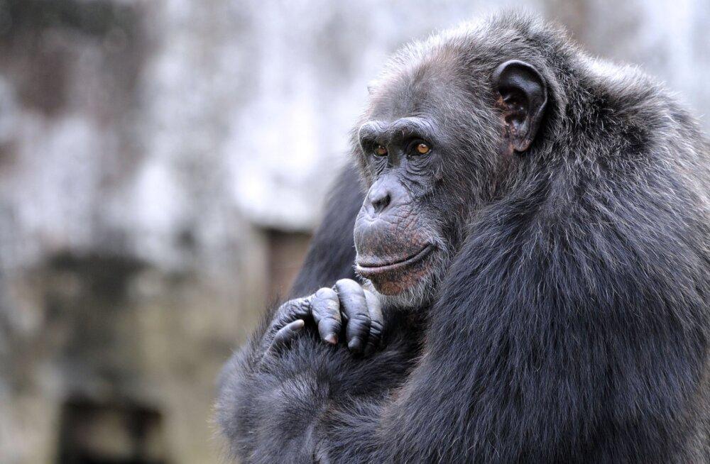 Aega võttis, aga asja sai: šimpansidele õpetati selgeks lastemäng kivi-paber-käärid