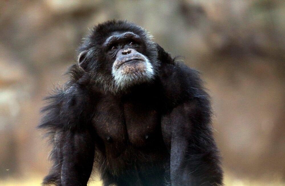 Argentina loomaaia šimpans. Nende karjal on alati kindel hierarhia, mida juhib üks domineeriv isane.