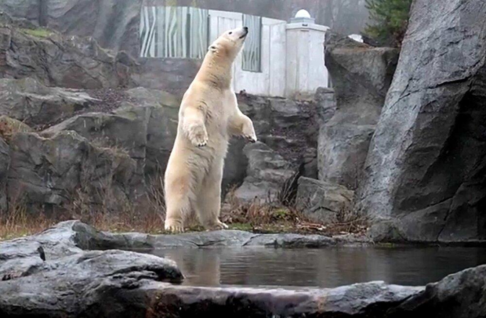 ARMAS VIDEO | Jääkaru Nora tutvub oma uue kodu õuega