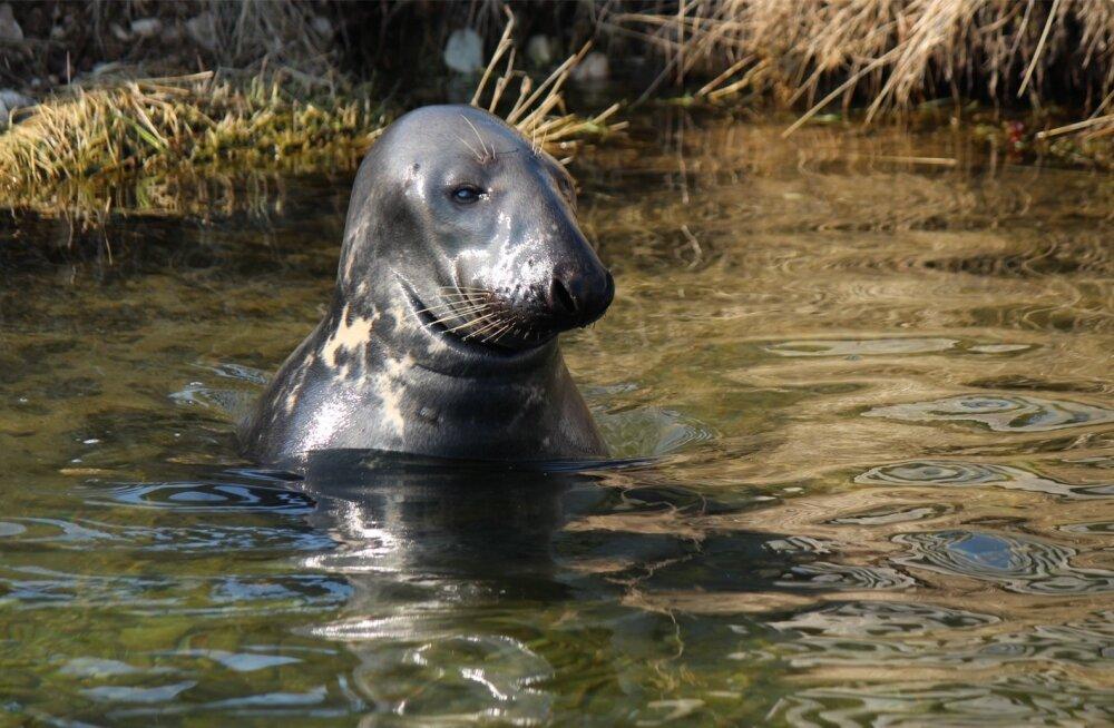 Ühes kalaostuga ei jäeta Äntu kalakasvanduses Lääne-Virumaal tere ütlemata ka Poisile – 16aastasele hülgele, kes hetk enne pildistamist pistis põske ühe värske forelli. Hüljes toodi Äntusse 2008. aastal Audru karusloomakasvandusest, kus tema elukohaks oli