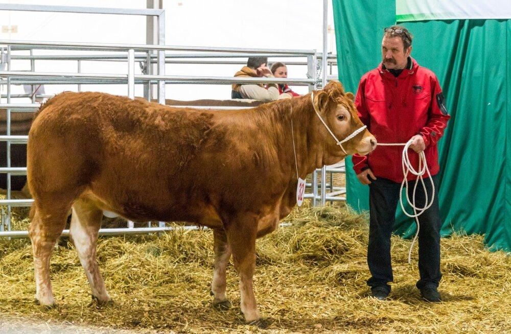 Lihatõugu lehmikute esimene miss Olivia ja tema peremees Aldo Vaan.