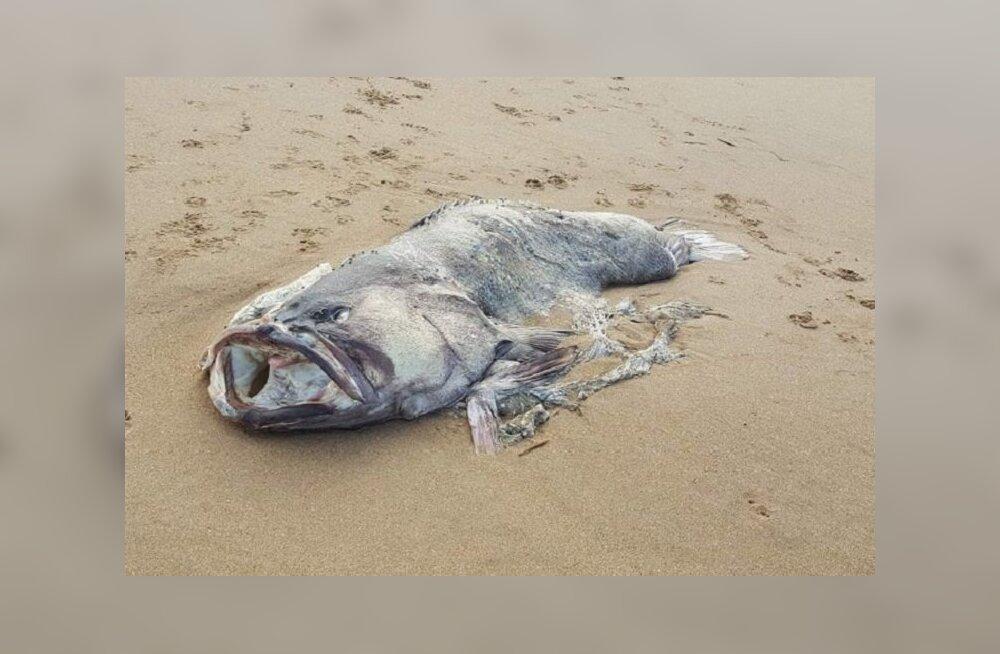 На пляже в Австралии нашли двухметровую рыбу-монстра