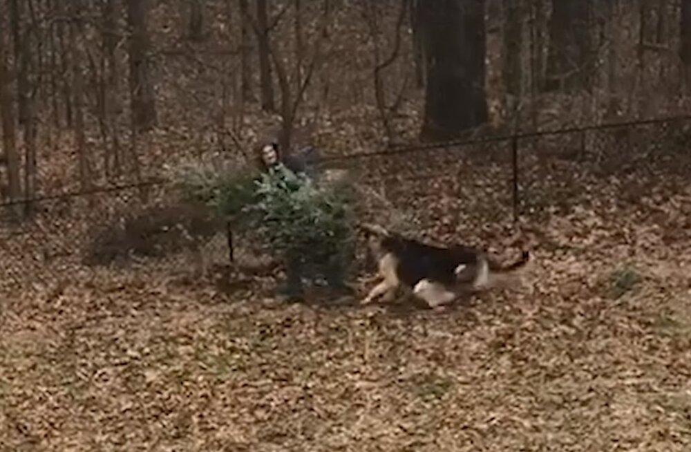 Naljakas VIDEO | Koerad kiindusid jõulupuusse nii tugevalt, et ei ole valmis sellest mitte mingil juhul veel loobuma