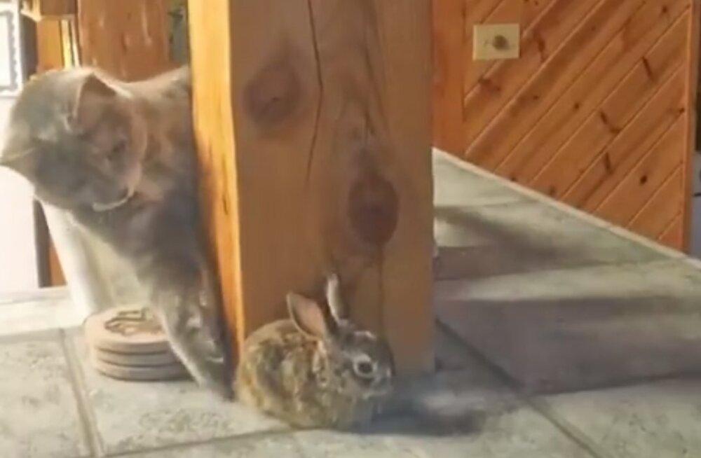 Sõbralik pats või sootuks midagi muud? Uudishimulik kass läheneb oma vastasele kummalisel moel