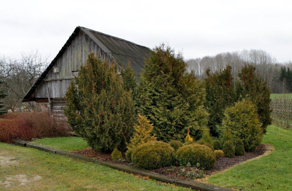 Kevadel tasub okaspuud üle vaadata ja pruune okkaid märgates turgutada puid magneesiumiga.