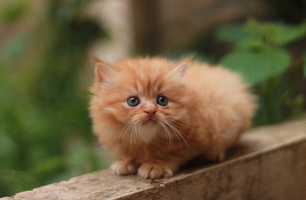Silmale nähtamatu: mis peitub populaarsete kassitõugude armsa välimuse taga?