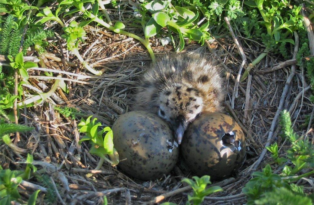 Miks vananevate lindude sigimisvõimekus langeb?