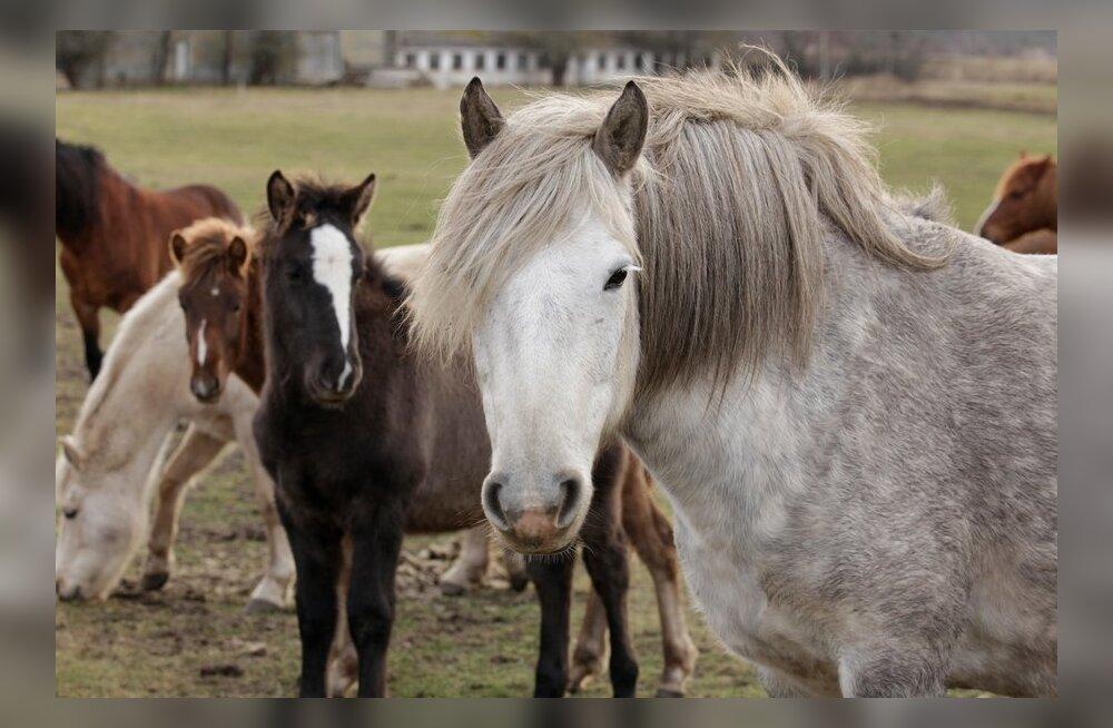 Hobune, hobused
