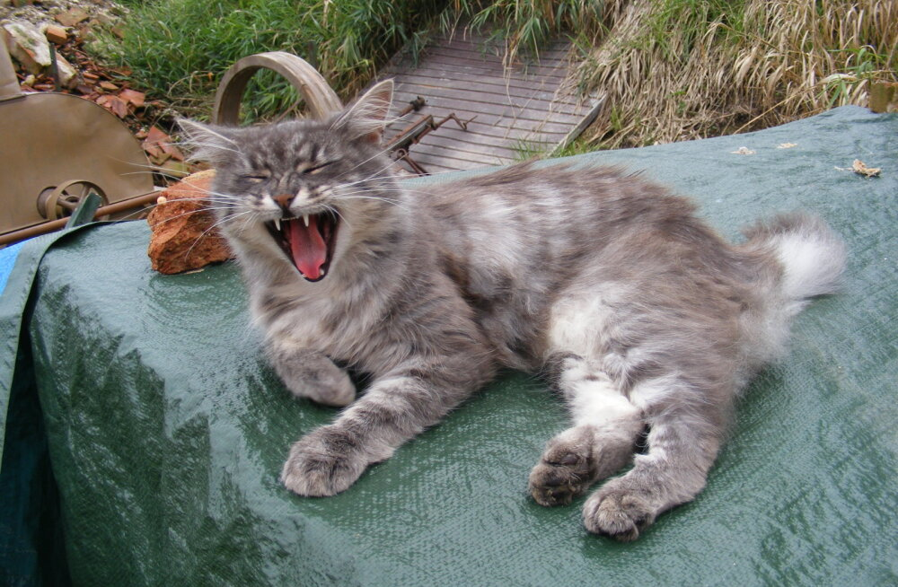 Kass-hiiglased: 10 kassitõugu, kes on tõelised kodutiigrid