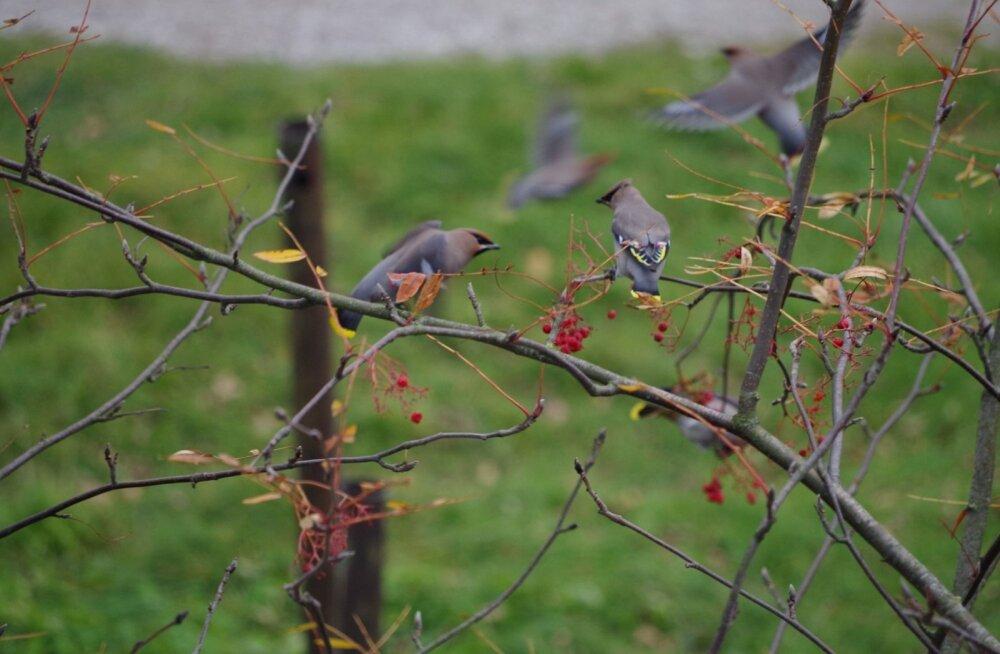 Linnuteadlased: Eestile ei sobi intensiivne metsandus