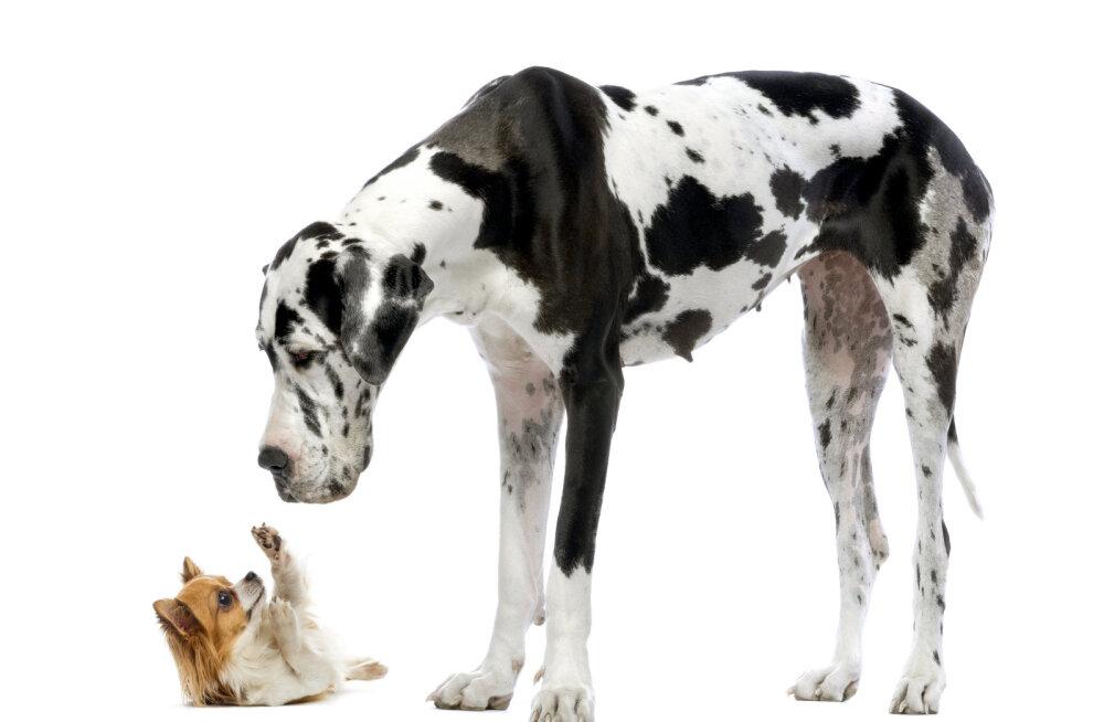 Miks on suurte koerte eluiga sageli lühem kui väikestel?