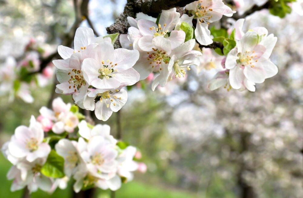Õisi täis õunapuu.